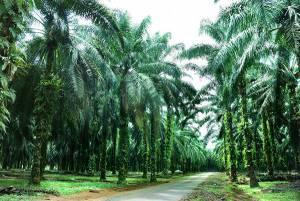 Oelpalme Plantage