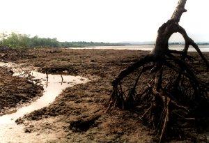 Für Shrimpszucht abgeholzte Mangroven
